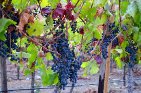 alcohuaz-uvas