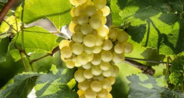 Vinícolas gaúchas recebem as primeiras uvas da boa safra de 2017